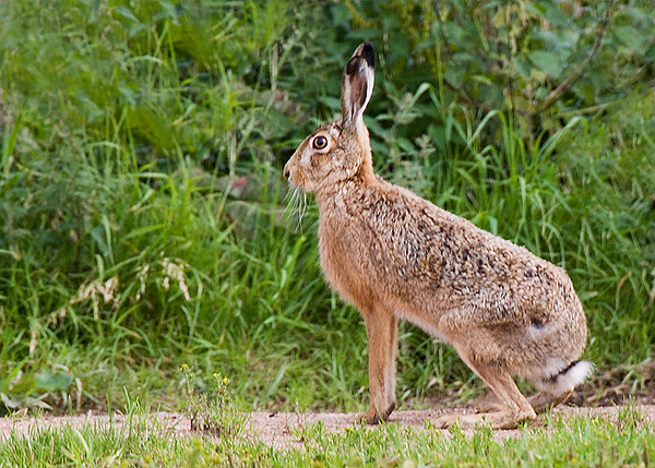 Brown Hare. John Chapman.
