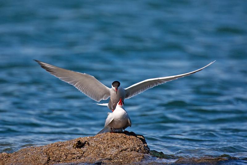 Common Terns mating. John Chapman.