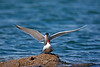 Common Terns mating. John Chapman.