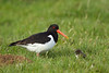 Oystercatcher with Chick. John Chapman.