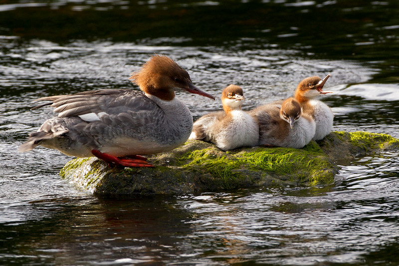 Female Goosander with Chicks.  John Chapman.
