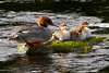 Female Goosander with Chicks.  John Chapman.