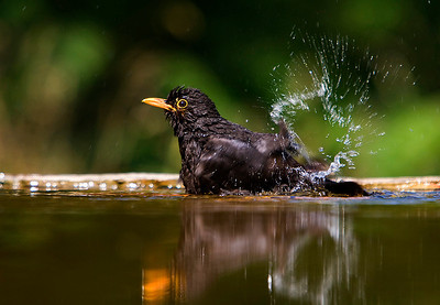 Male Blackbird having a bath. John Chapman.