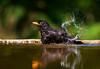 Male Blackbird having a bath. John Chapman.