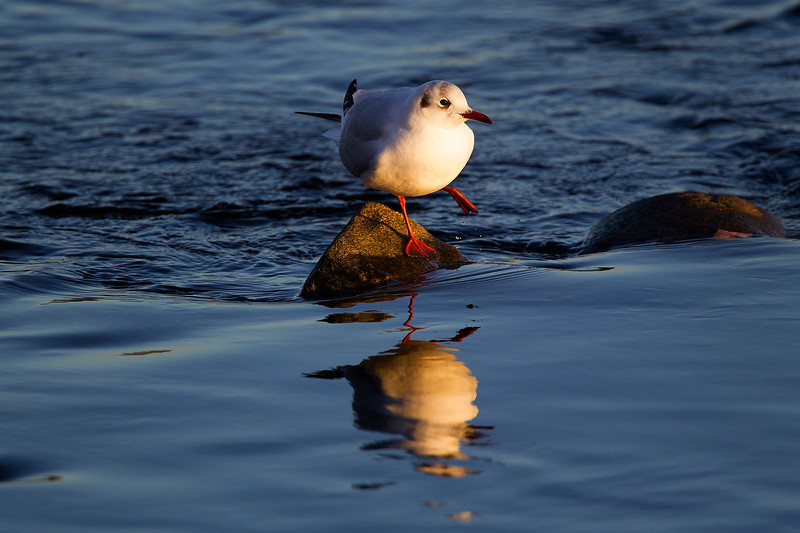 Black Headed Gull in Winter Plumage. John Chapman.