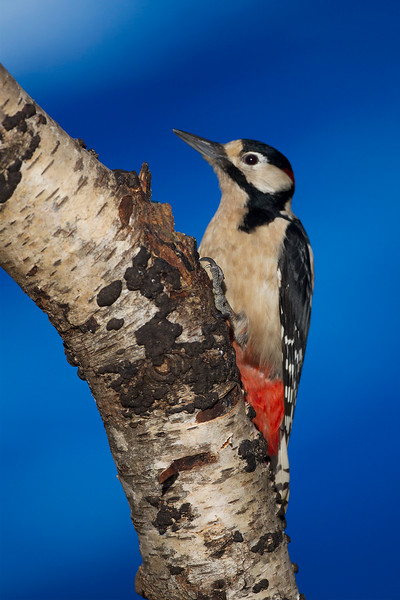 Male Great Spotted Woodpecker. John Chapman. Accepted in the Local newspaper.