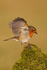 Scottish Robin. John Chapman.