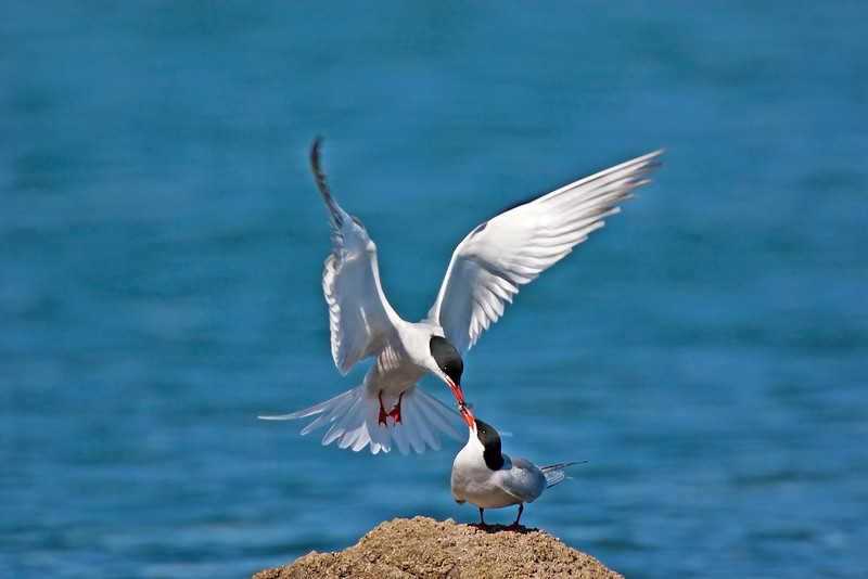 Common Terns. Published in The Breeding Birds of North East Scotland. John Chapman.