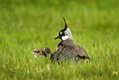 Lapwing with Chick. John Chapman.