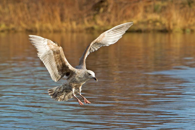 1st Winter Common Gull John Chapman.