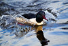 Male Goosander in motion. John Chapman.