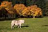 Shetland Pony at Strathdon.