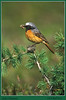 Male Redstart. Published in The Breeding Birds of North East Scotland.