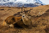 Red Deer Stag Scratching. John Chapman.