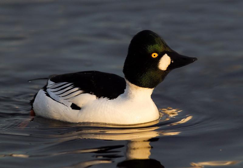 Goldeneye Duck. Male.
