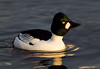 Goldeneye Duck. Male.