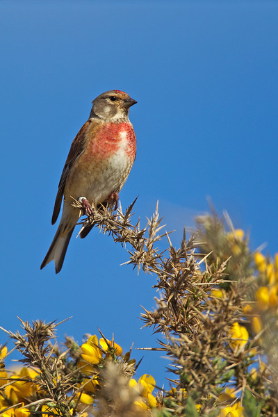 Male Linnet. Published in The Breeding Birds of North East Scotland.