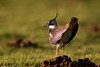 Lapwing Displaying in Evening Light.