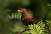 Female Blackbird. John Chapman.