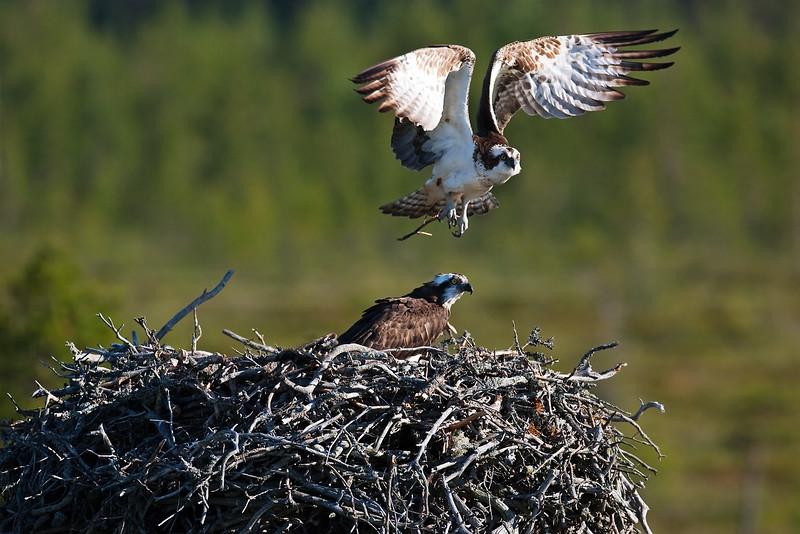 Ospreys. Published in The Breeding Birds of North East Scotland. John Chapman.