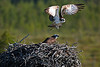 Ospreys. Published in The Breeding Birds of North East Scotland. John Chapman.