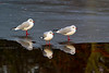 Winter Plumage Black Headed Gulls. John Chapman.