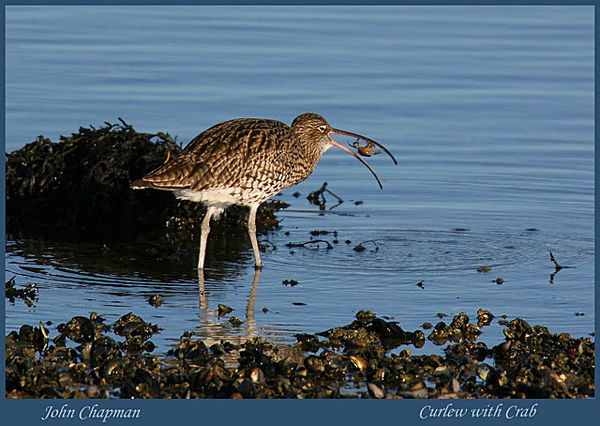Curlew with Crab. John Chapman.