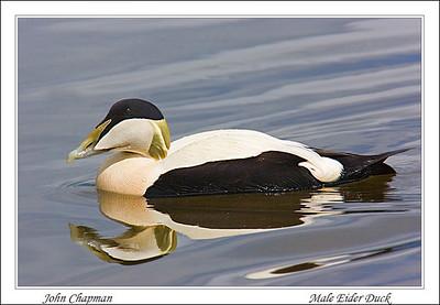 Male Eider Duck.