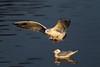 Winter Plumage B.H. Gulls. Picture in the Local Newspaper. John Chapman.