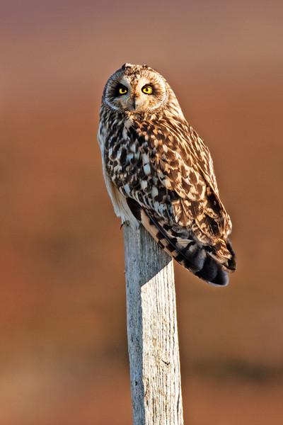 Short Eared Owl. John Chapman