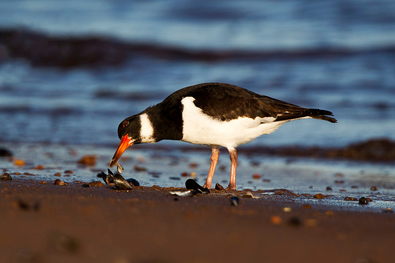 Oystercatcher with a Mussel. Happy New Year to everyone