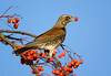 Fieldfare with Rowan Berry. John Chapman.