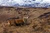 Red Deer in Argyll  Scotland. John Chapman.
