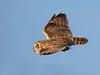 Short Ear Owl with Vole.