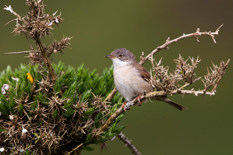 Whitethroat Accepted in the Local Newspaper. John Chapman.