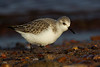 Sanderling in Winter Plumage.. John Chapman.