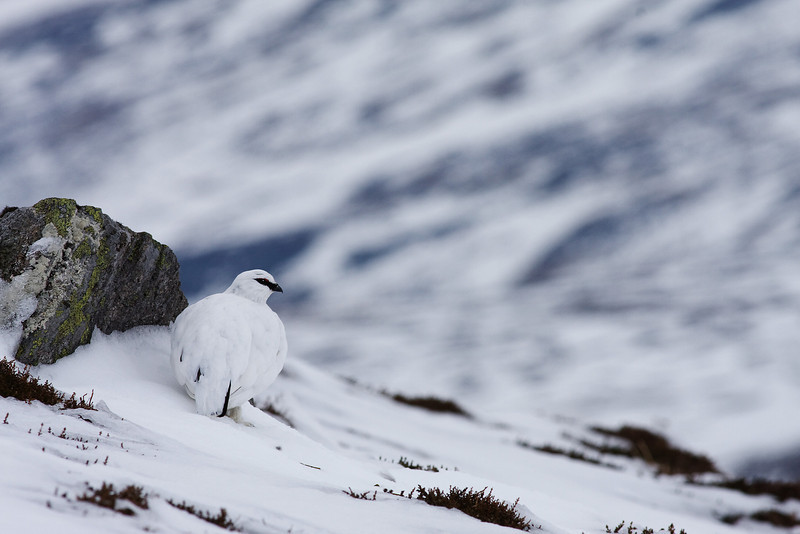 Male Ptarmigan in Winter Plumage.