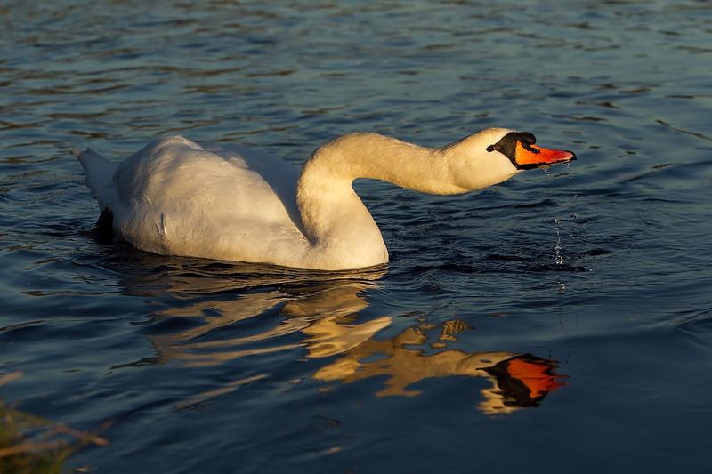 Mute Swan. John Chapman.