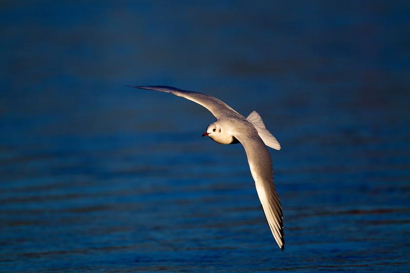 Black Headed gull in Winter Plumage. John Chapman.