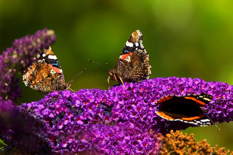 Red Admiral Butterflies. John Chapman.