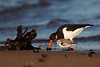 Oystercatcher with Mussel and a Sanderling looking on. John Chapman.