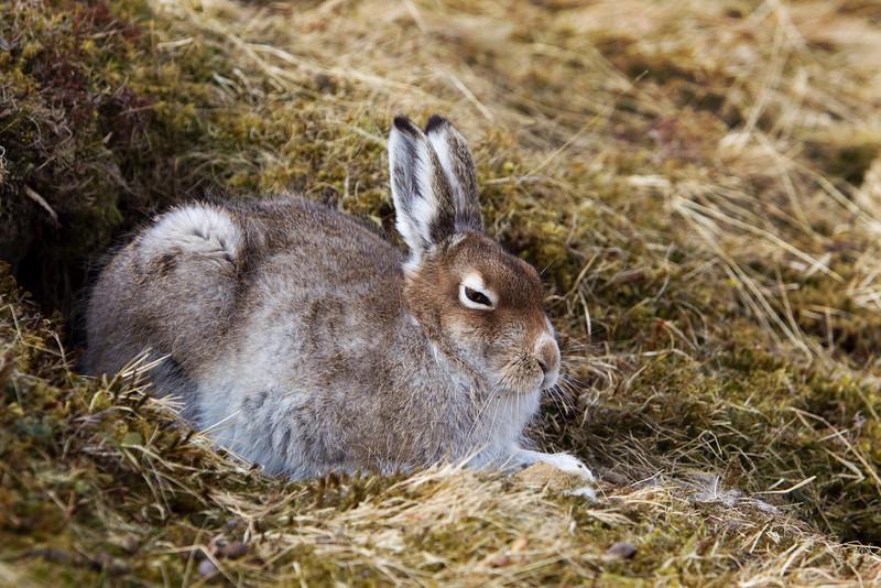 Mountain Hare resting. John Chapman.