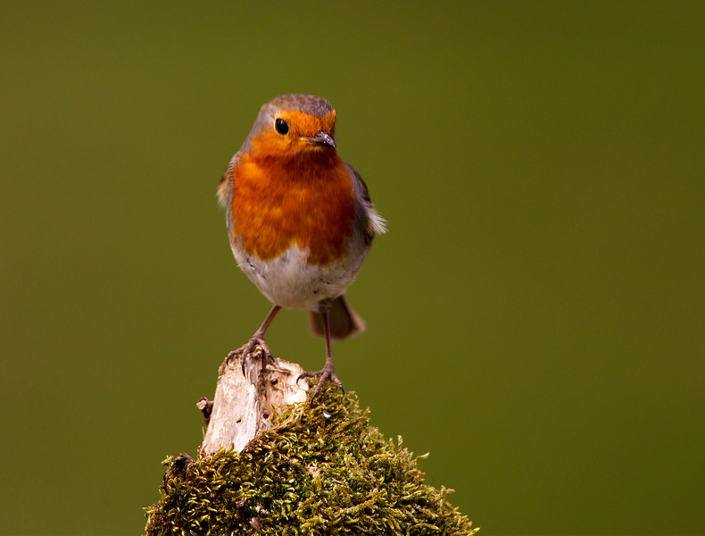 Robin. John Chapman.