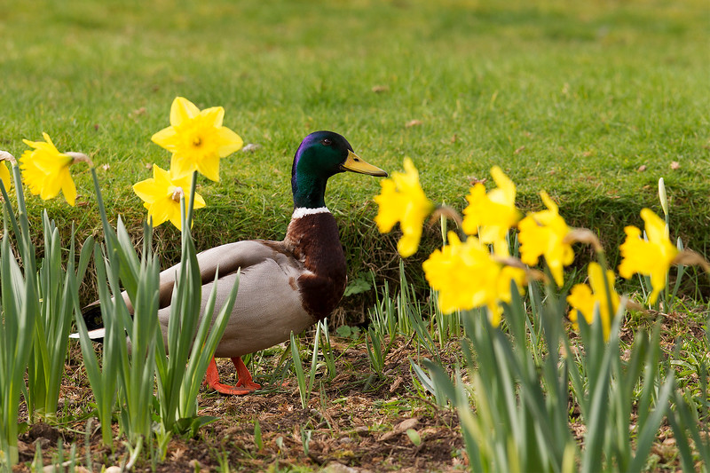 Male Mallard Duck in amongst the Daffodils. Published in the Local Press. John Chapman.