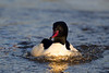 Male Goosander. John Chapman. Accepted in the Local Newspaper.