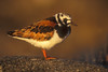 Turnstone in evening light. John Chapman.