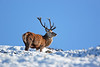 RED DEER Stag.