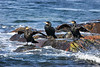 Cormorants. John CHapman