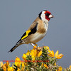 Goldfinch. Accepted in the Local Newspaper. John Chapman.