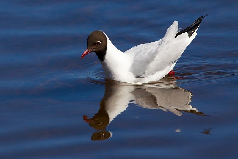 Reflection. Black Headed Gull. John Chapman.